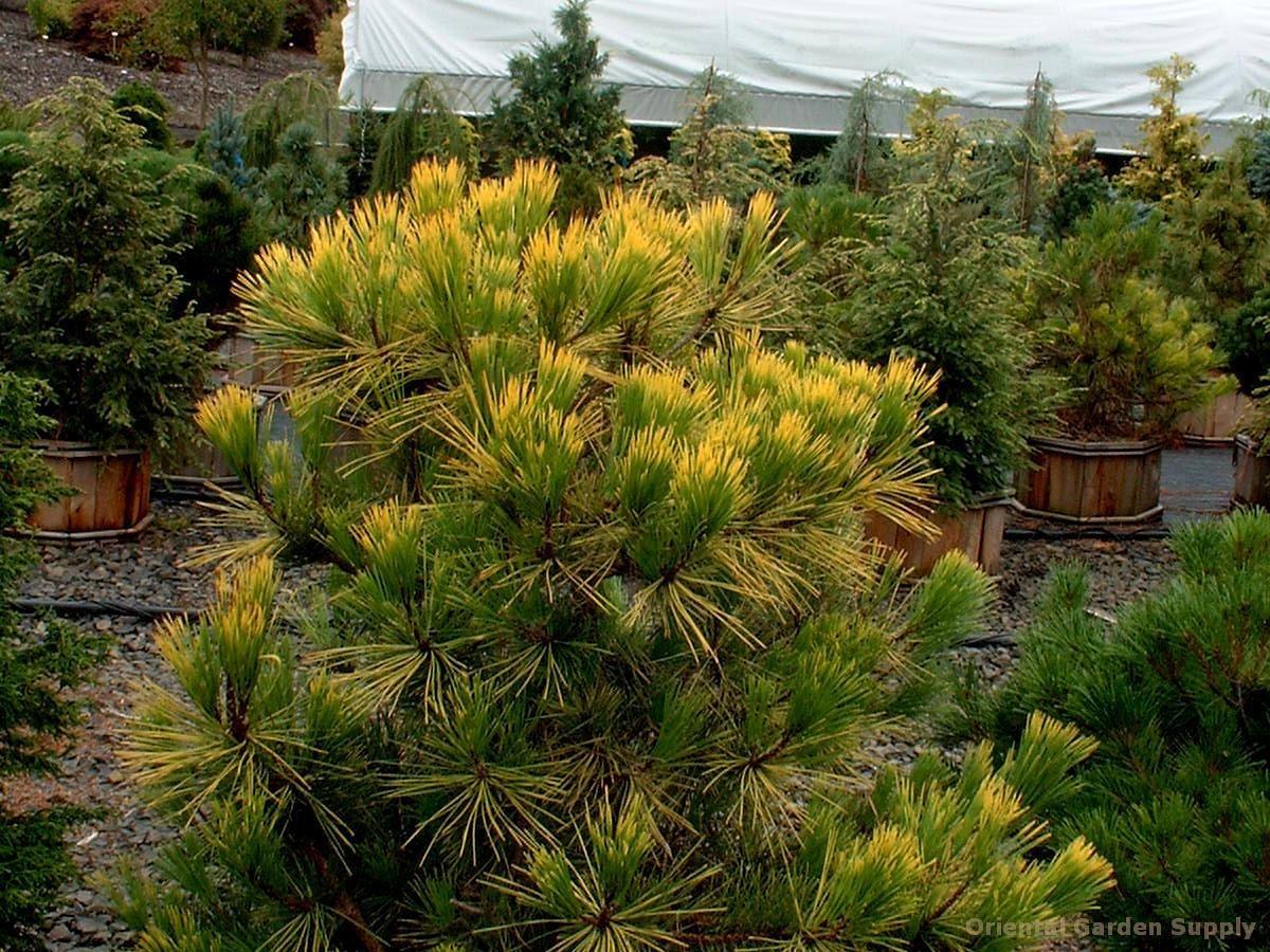 Pinus thunbergiana 'Ogon'