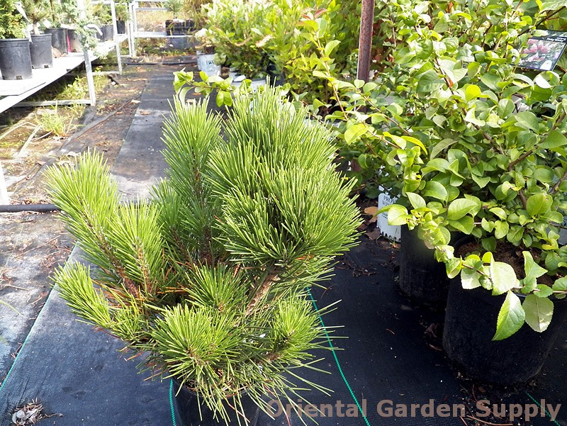 Pinus thunbergiana 'Hakuho'