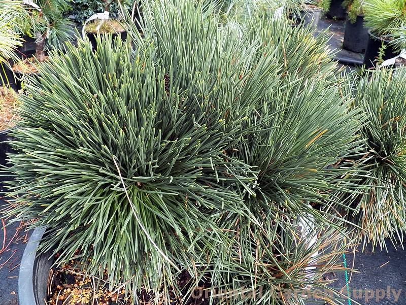 Pinus thunbergiana 'Ogi'