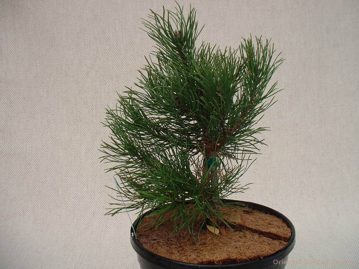 Pinus uncinata 'Mt. Muffin'