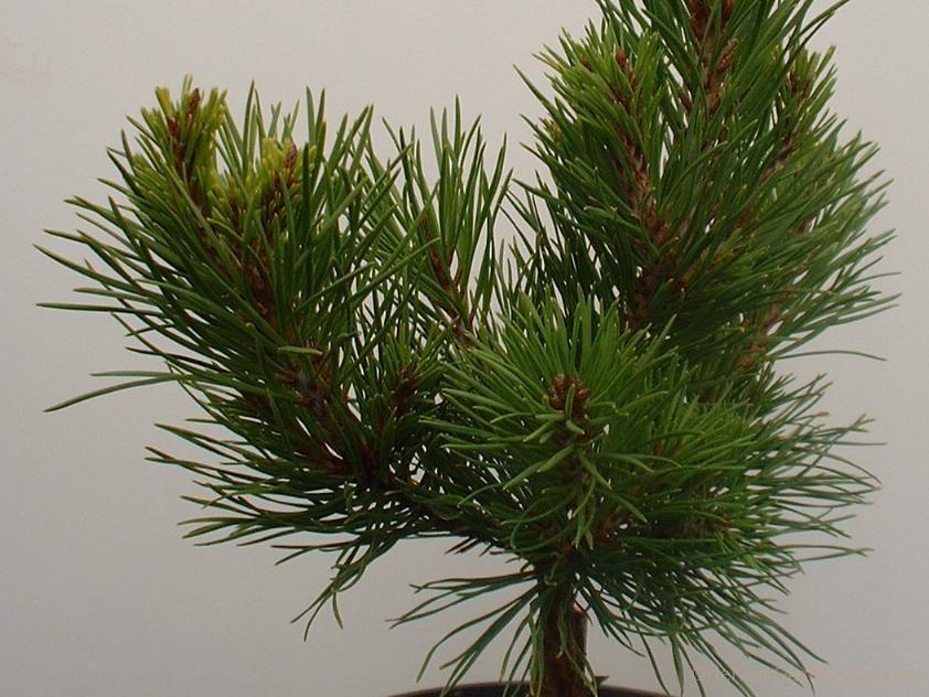 Pinus virginiana 'Fanfare'