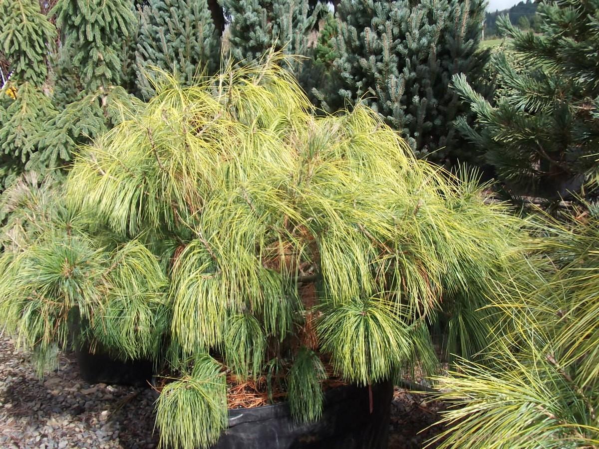 Pinus wallichiana 'Frosty'
