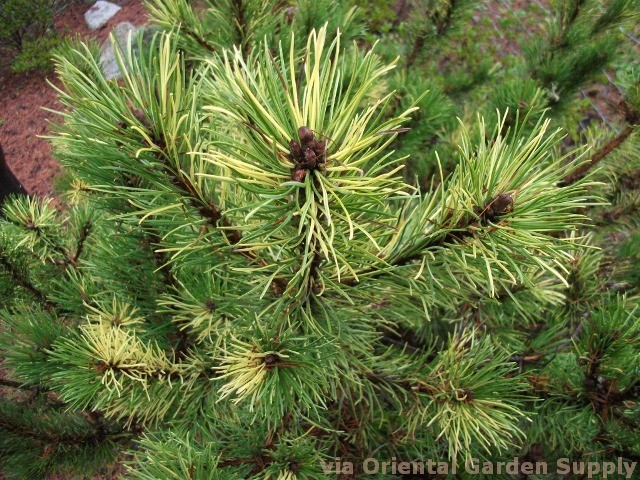 Pinus mugo 'Patches'