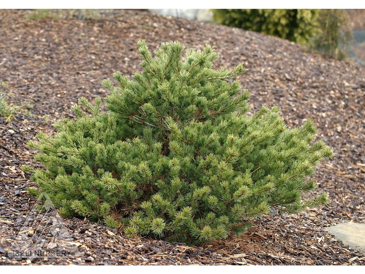 Pinus parviflora 'Ko-Ku-Ho'