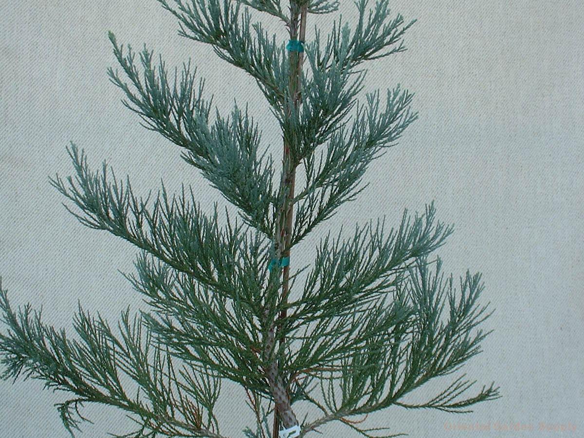Sequoiadendron giganteum 'Hazel Smith'