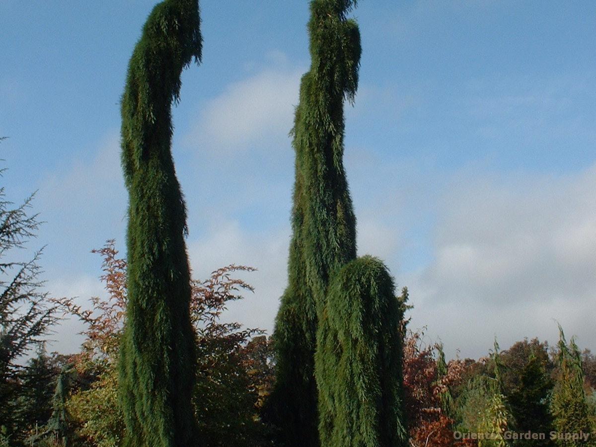 Sequoiadendron giganteum 'Pendula'