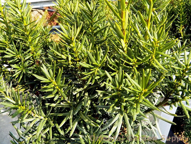 Taxus x media 'Dark Green Spreader'