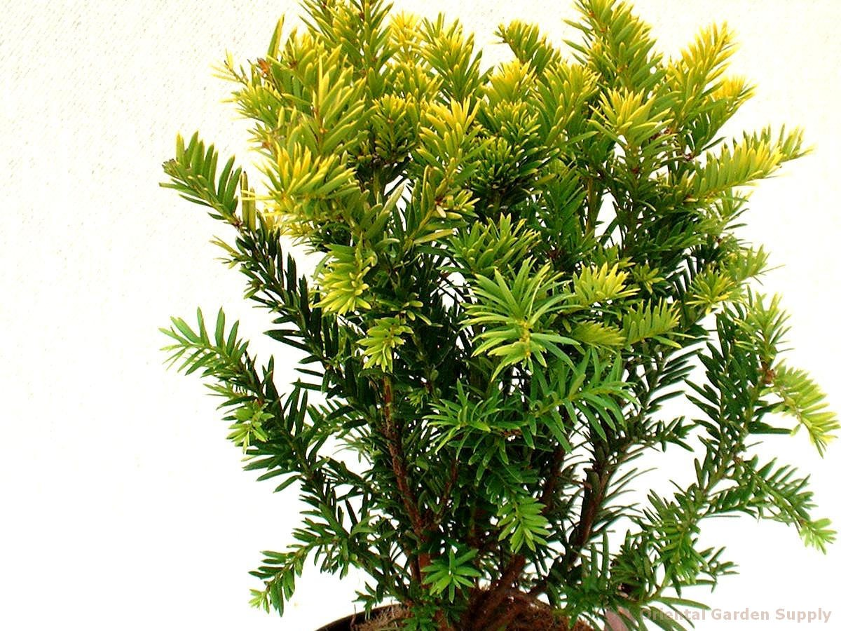 Taxus x media 'Margarita'