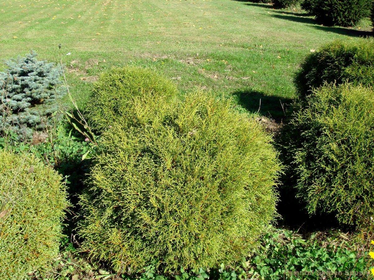 Thuja occidentalis 'Mr. Bowling Ball'
