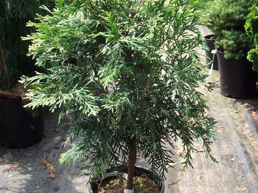 Thuja occidentalis 'Wansdyke Silver'