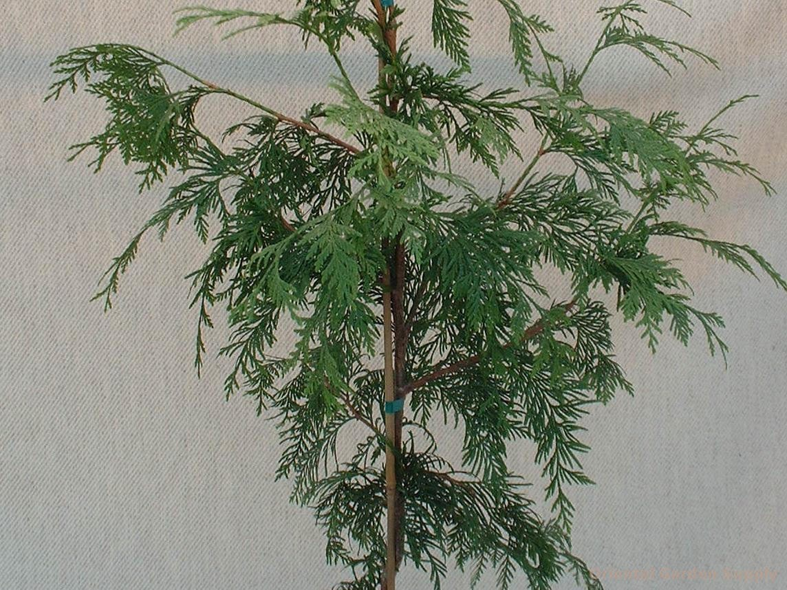 Thuja plicata 'Holly Turner'