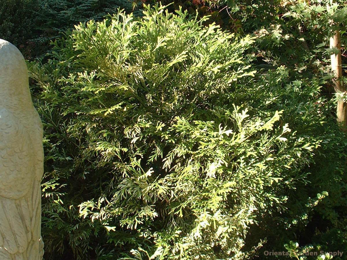 Thujopsis dolobrata 'Variegata'