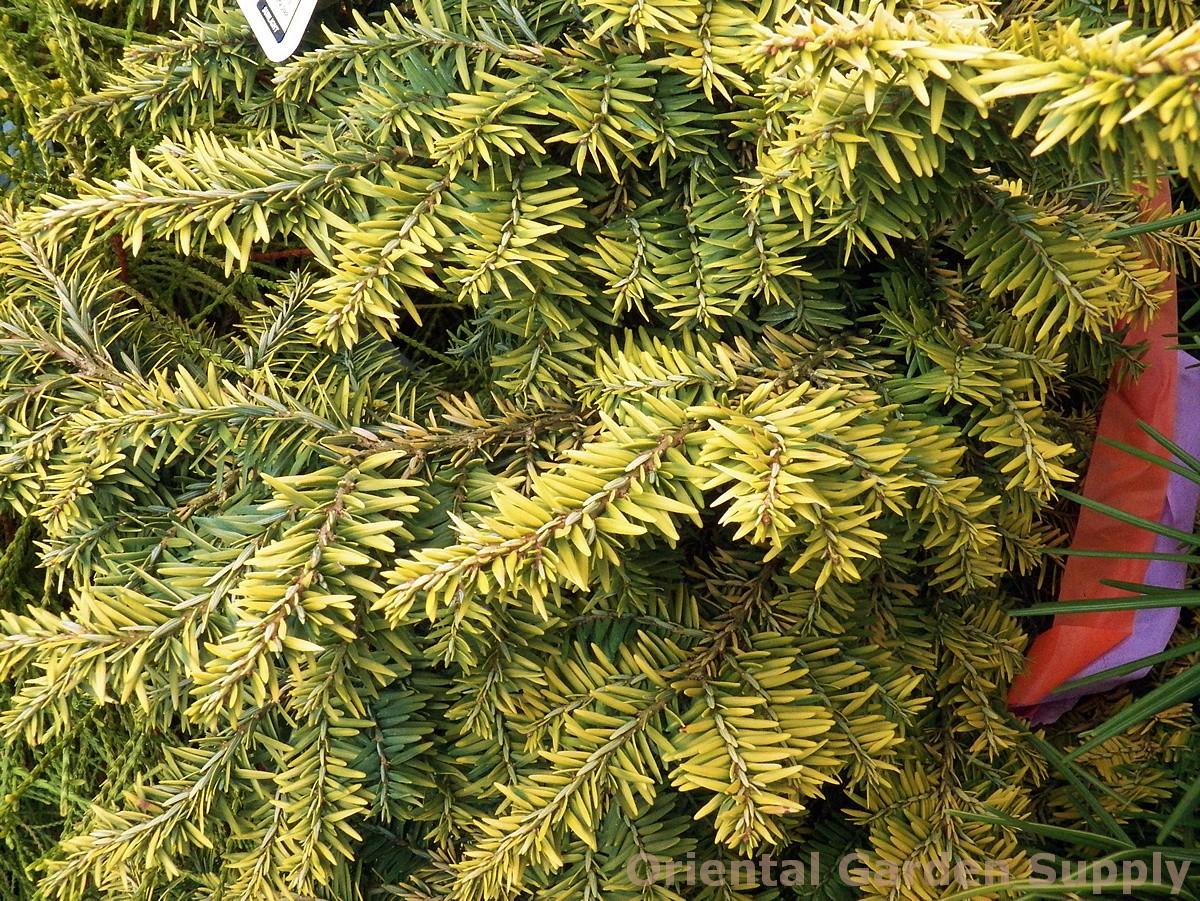 Tsuga canadensis 'Aurea Compacta'