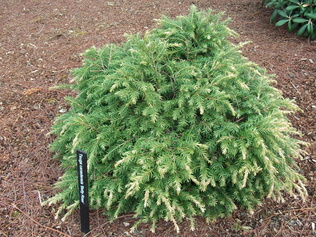 Tsuga canadensis 'Betty Rose'