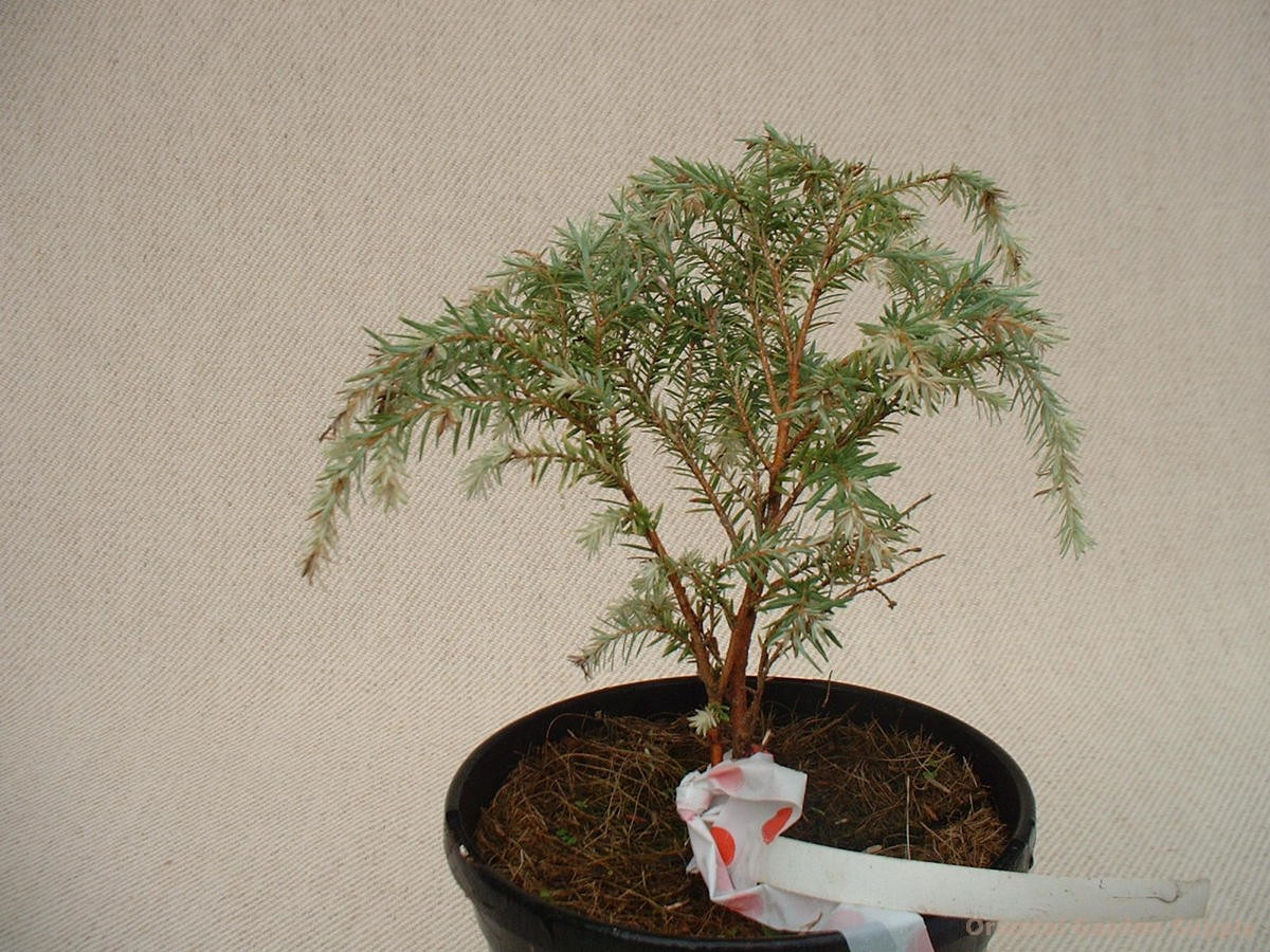 Tsuga canadensis 'White Fountain'