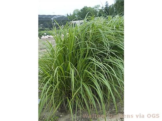 Calamagrostis arundinacea var. brachytricha