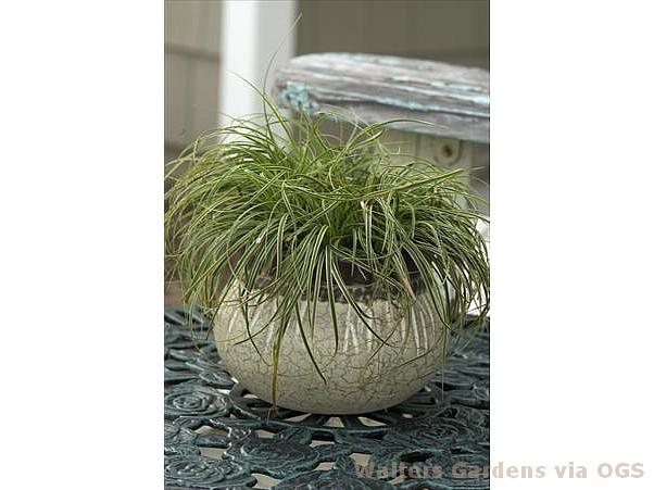 Carex caryophyllea 'Beatlemania'