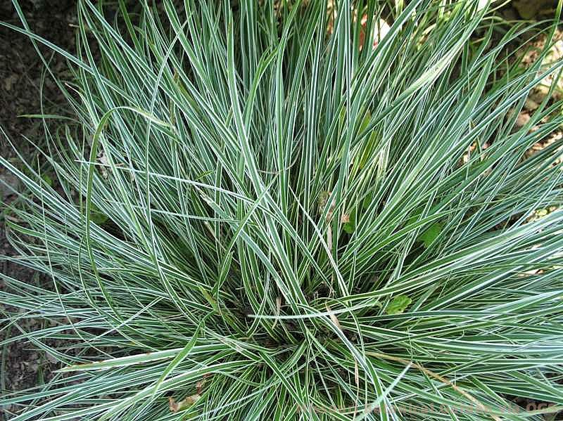 Carex conica 'Hime'