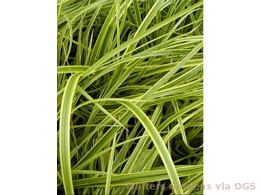 Carex divulsa 'Kaga-Nishiki'