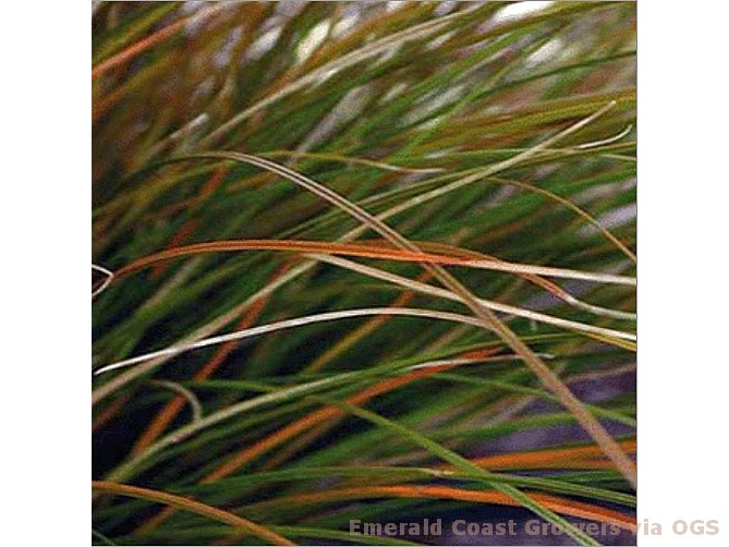 Carex testacea 'Orange Sedge'
