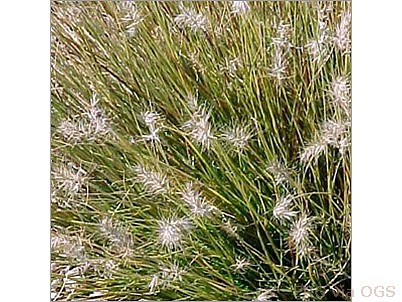 Pennisetum alopecuroides 'Little Honey'