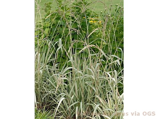Phalaris arundinacea 'Feesey'