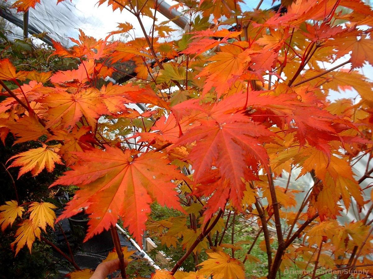 Acer japonicum 'Otaki'