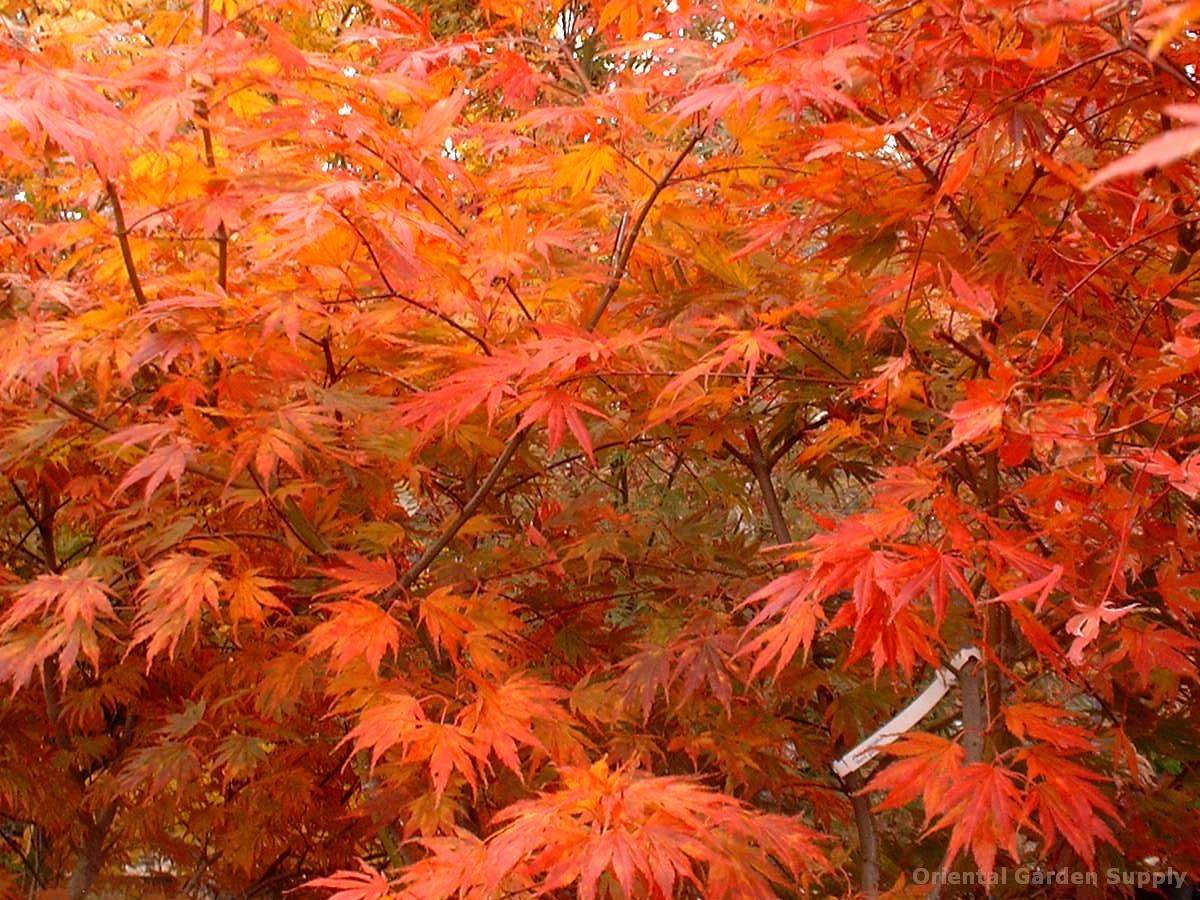 Acer palmatum 'Beni gasa'