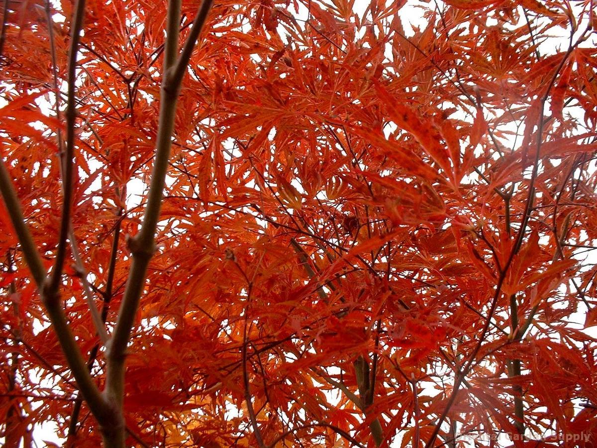 Acer palmatum 'Beni shi en'