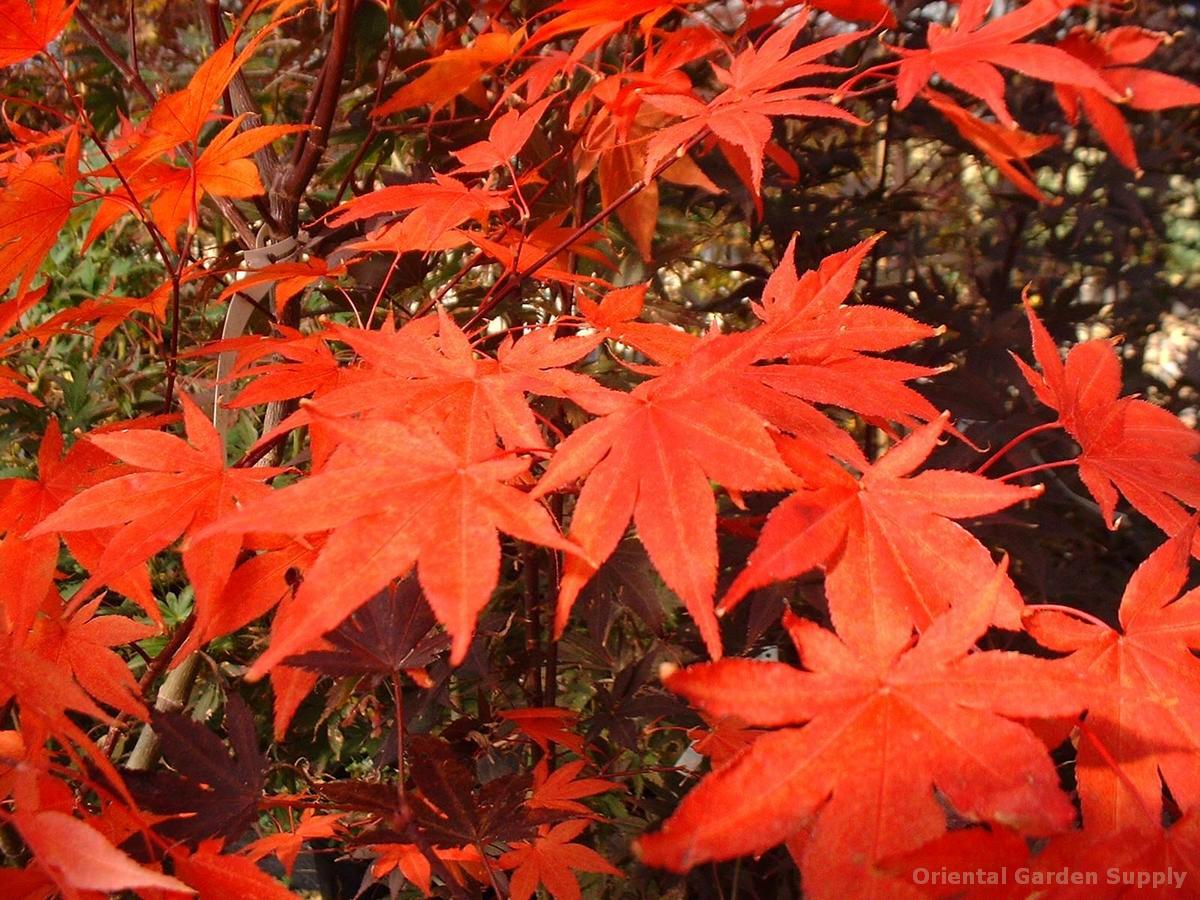 Acer palmatum 'Boskoop Glory'