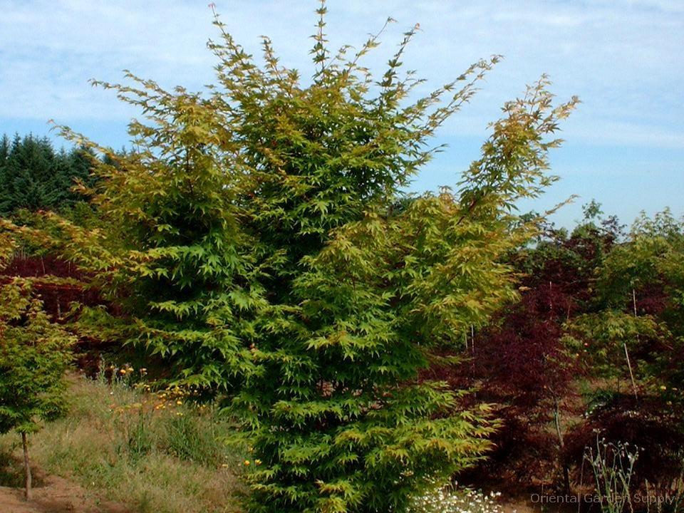 Acer palmatum dissectum 'Dissectum'
