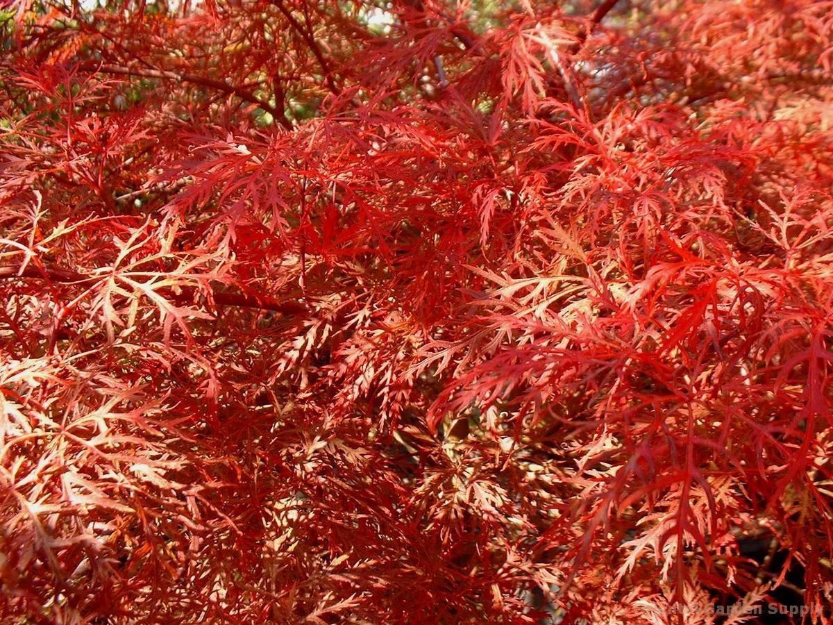 Acer palmatum dissectum 'Baldsmith'