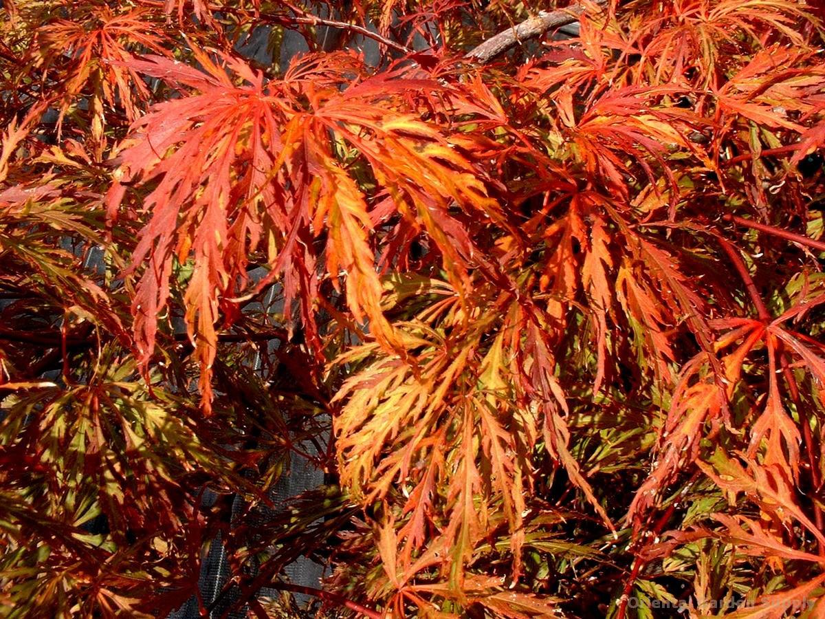 Acer palmatum dissectum 'Barrie Bergman'
