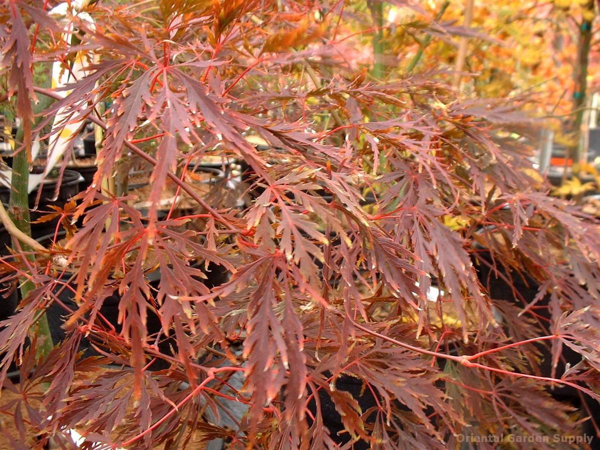 Acer palmatum dissectum 'Diana's Gem'