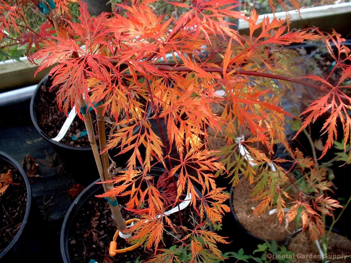 Acer palmatum dissectum 'Dr. Brown'