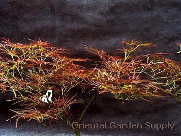 Acer palmatum dissectum 'Edgewood Golden'