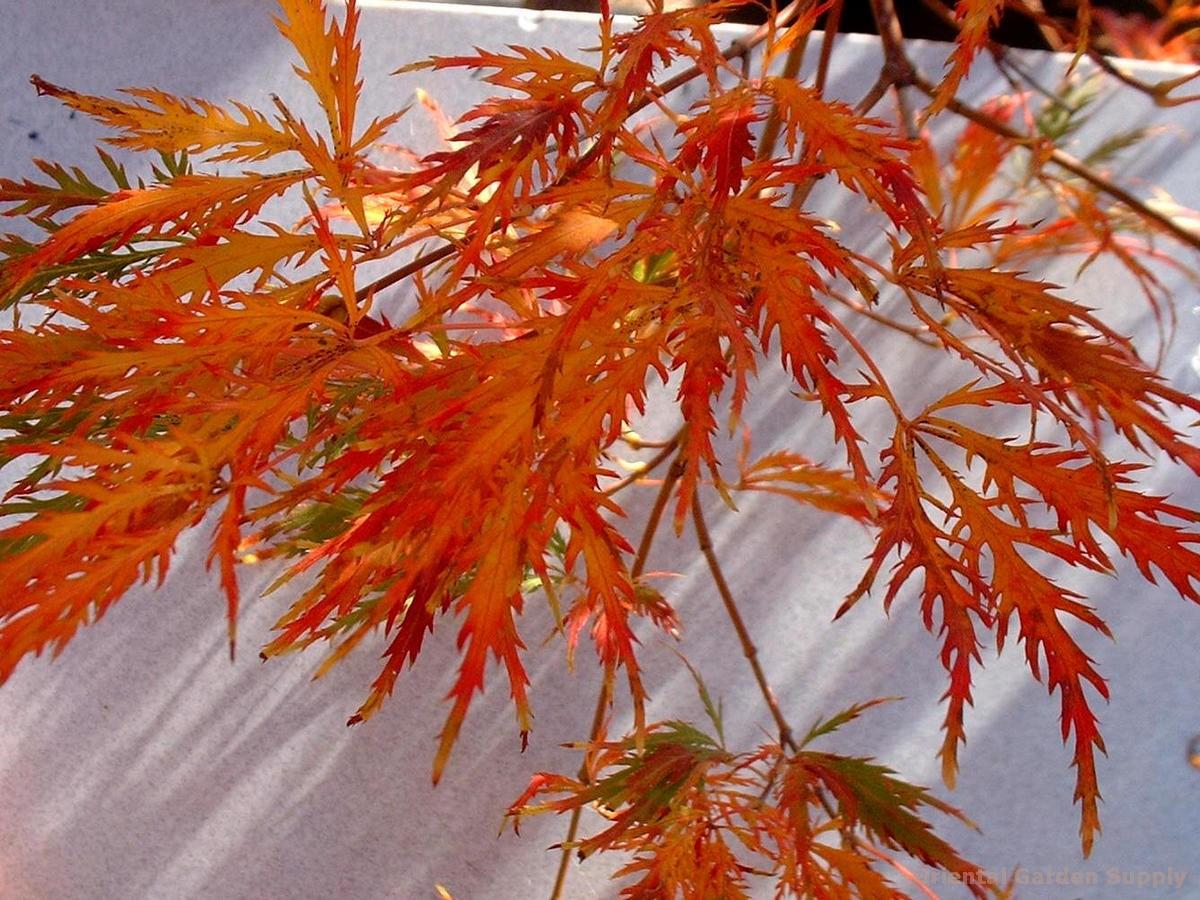 Acer palmatum dissectum 'Flavescens'