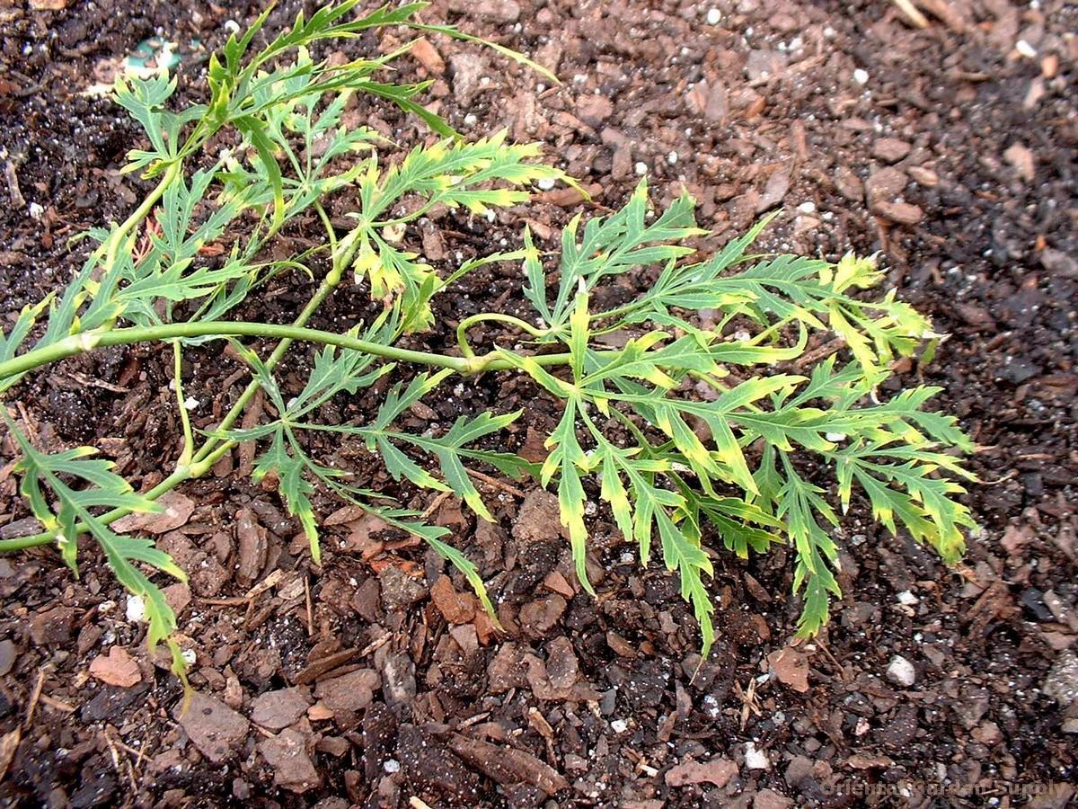 Acer palmatum dissectum 'Germain Contorted'