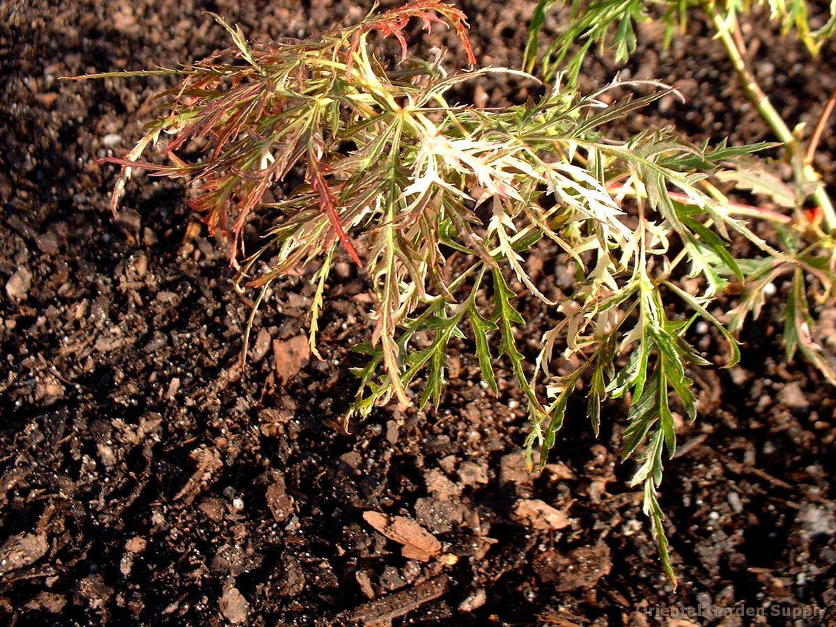 Acer palmatum dissectum 'Goshiki shidare'