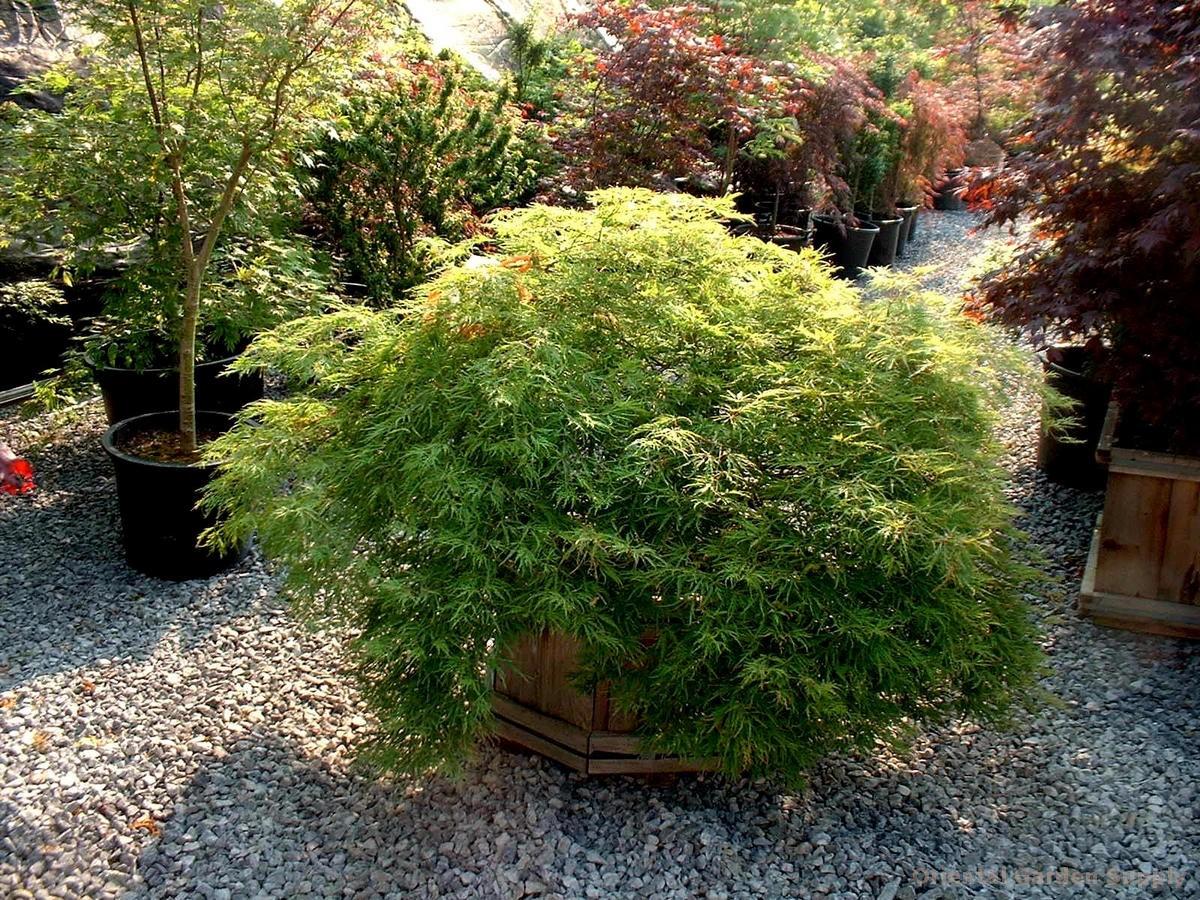 Acer palmatum dissectum 'Green Mist'