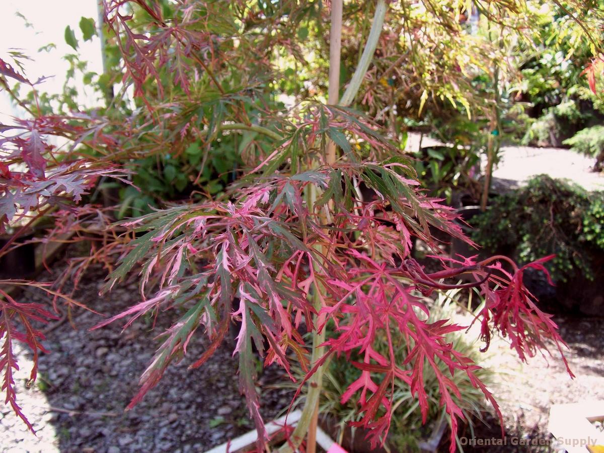Acer palmatum 'Hana matoi'
