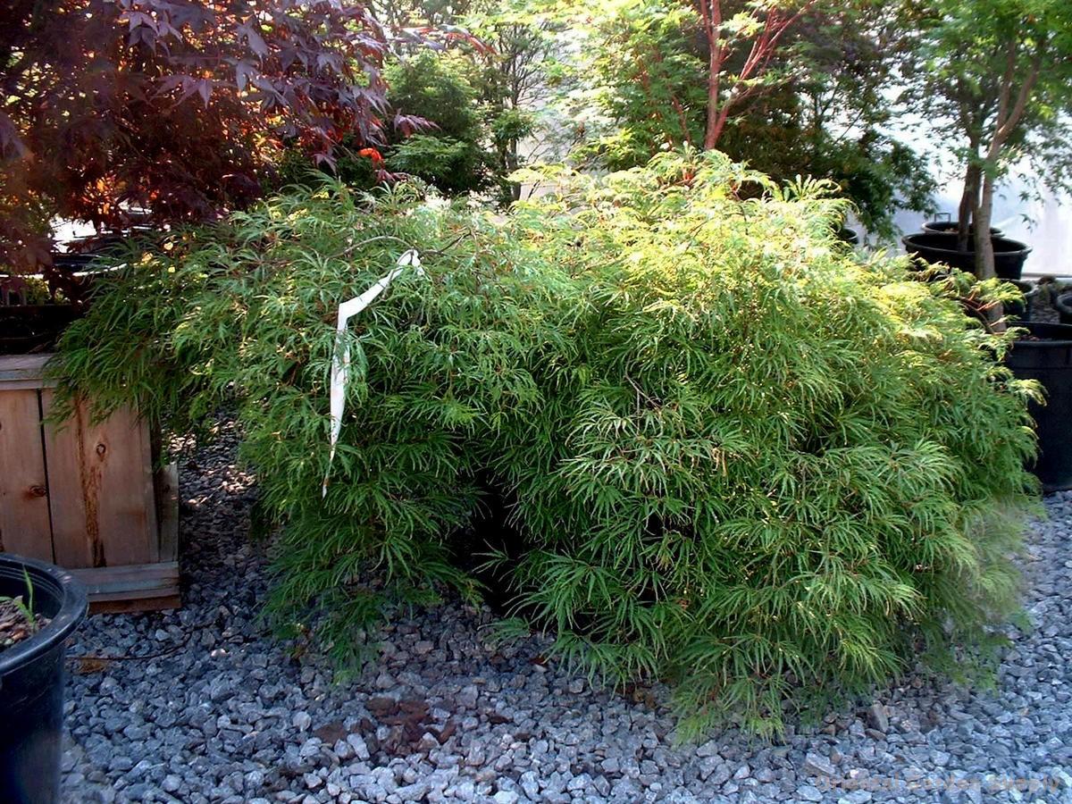 Acer palmatum dissectum 'Midori no teiboku'