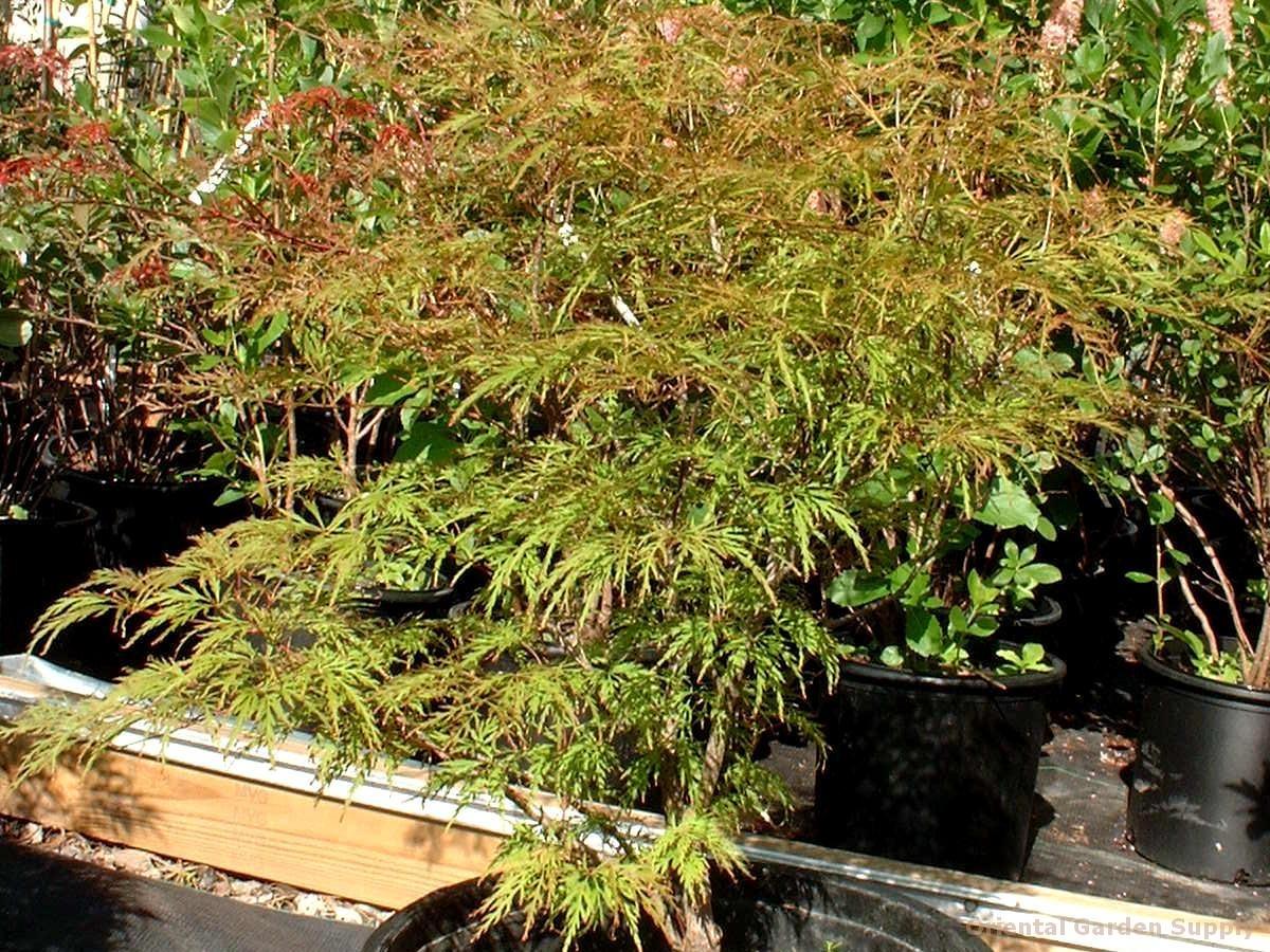 Acer palmatum dissectum 'Spring Delight'