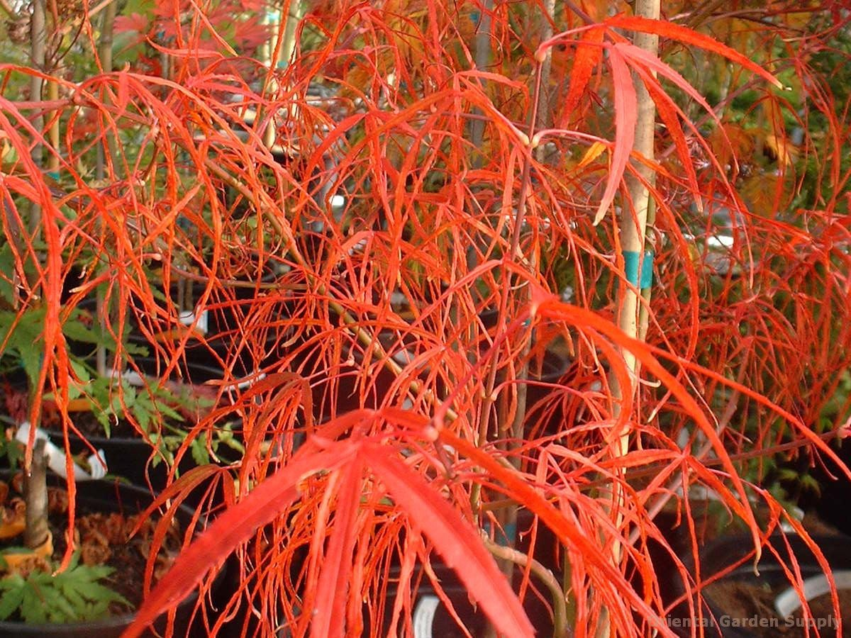 Acer palmatum 'Fairy Hair'