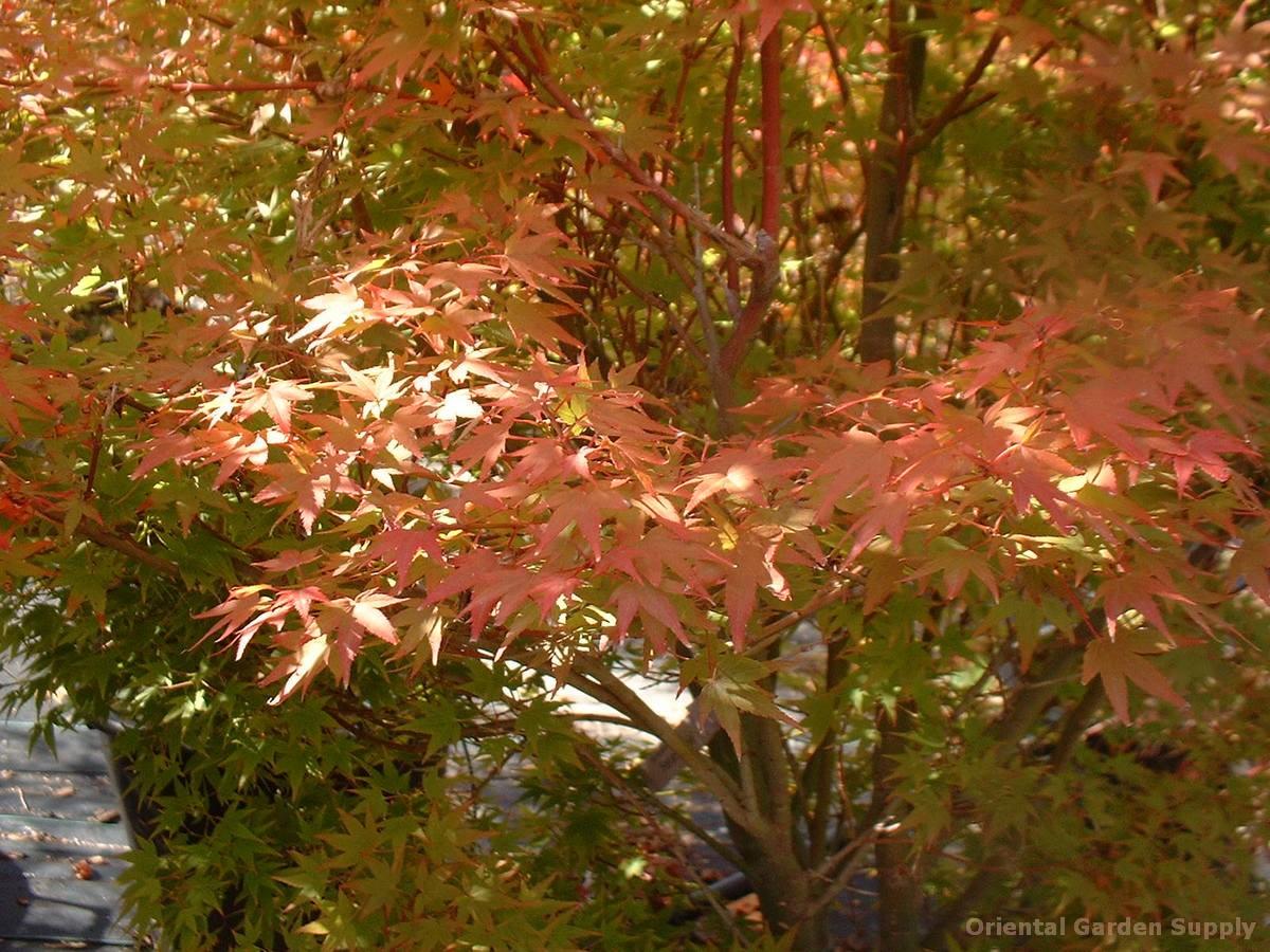 Acer palmatum 'Hanami nishiki'