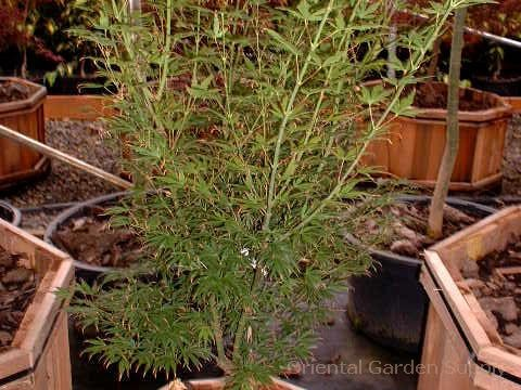 Acer palmatum 'Jb-Jrb-#1'