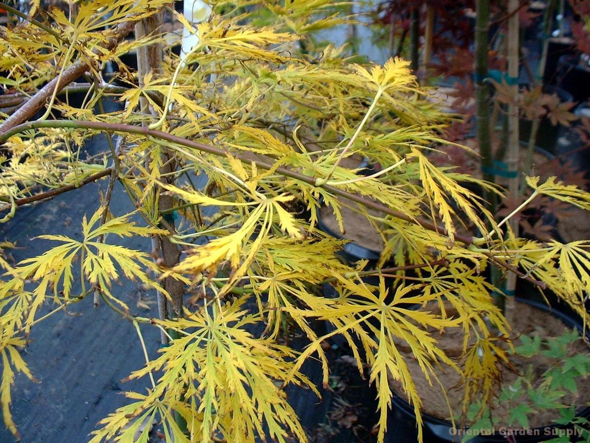 Acer palmatum 'Jb-K'