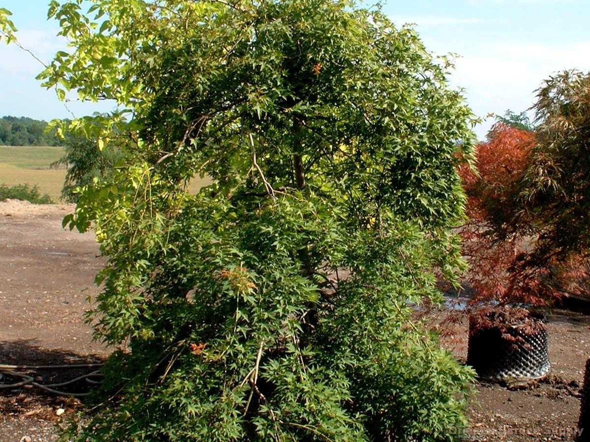 Acer palmatum 'Jiro shidare'