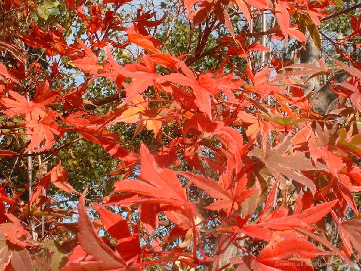 Acer palmatum 'Kagira nishiki'