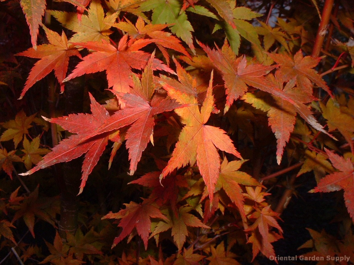 Acer palmatum 'Koshiboro nishiki'